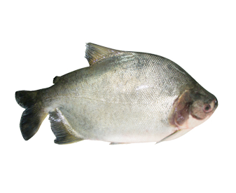 Gutted Pacu